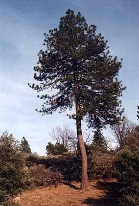 3 where do pines fit into the plant kingdom taxonomy