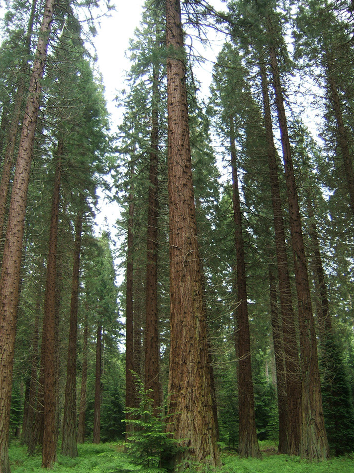 giant sequoia grove planted by lumber company