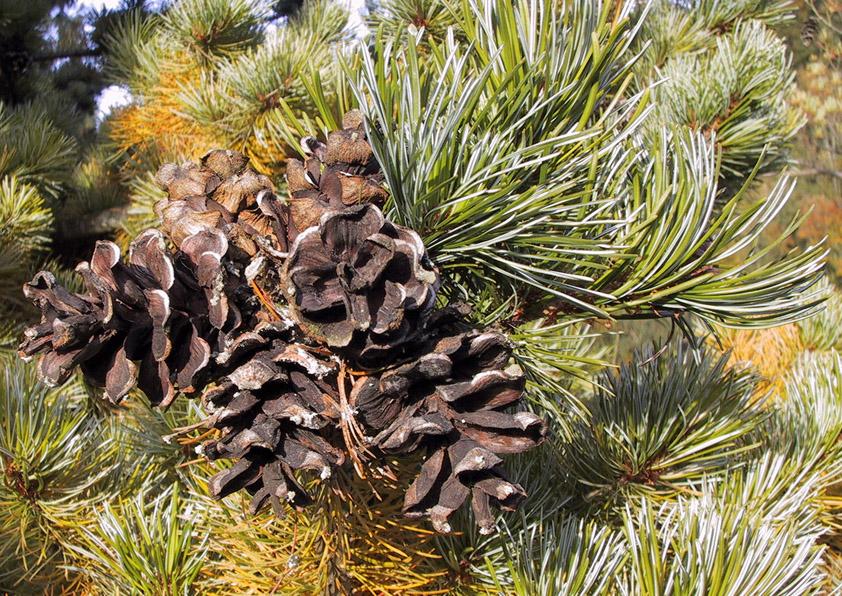 Viagra Pinus Size Testimonials